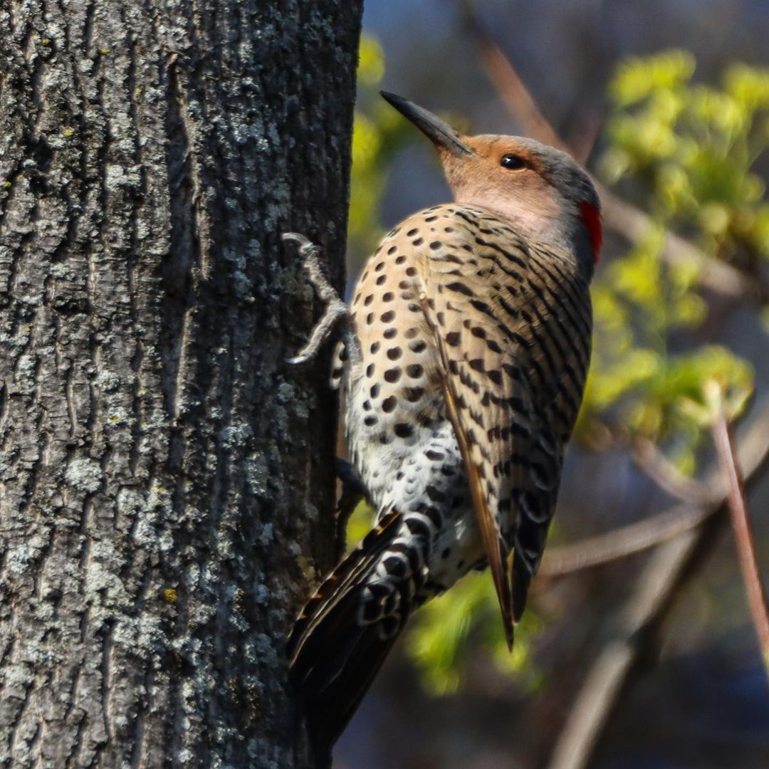 Flicker on the Hojack Trail
